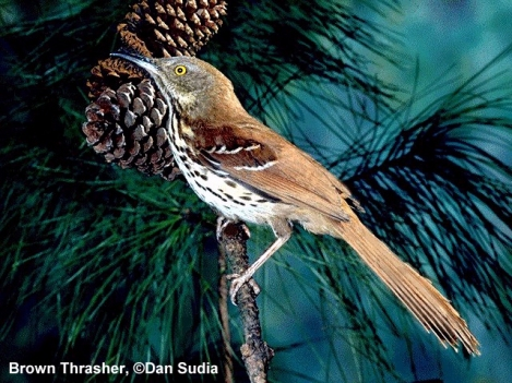 brown-thrasher.jpg