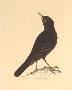 blackbirdlewin1.jpg